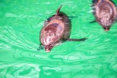 Nette Delphine im Poolwasser im dolphinarium lizenzfreie stockbilder
