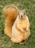 Nette Eichhörnchen-Stellung lizenzfreie stockbilder