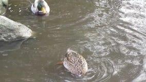 Nette Enten, die unter Wasser tauchen, um am Rand von einem Ententeich zu trinken stock video