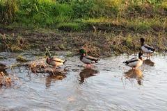 Nette Enten in einem ruhigen See stockfotografie