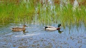 Nette Entenpaarschwimmen in einem Teich mit gelesen lizenzfreie stockbilder