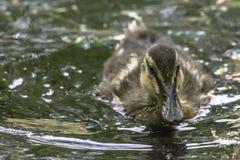 Nette Entleinschwimmen im britischen Teich lizenzfreies stockbild