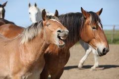 Nette Entwurfspferde, die zusammen in der Koppel bohren stockfotos