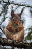 Nette, entzückende, schwangere Eichhörnchenmutter lizenzfreies stockbild