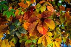 Nette Farbtraube verlässt Herbstfarben hell stockfoto