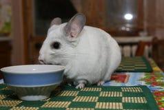 Nette flaumige weiße Chinchilla isst nahe der Platte auf dem Tisch Haustier zu Hause r adorable lizenzfreie stockfotos
