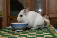 Nette flaumige weiße Chinchilla isst nahe der Platte auf dem Tisch Haustier zu Hause r adorable stockfotos