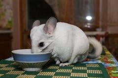 Nette flaumige weiße Chinchilla isst nahe der Platte auf dem Tisch Haustier zu Hause r adorable stockfoto