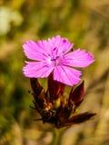 Nette Gartennelkenblumen Stockfoto