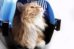 Nette gelbe Katze im Transportkasten Lizenzfreies Stockfoto