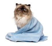 Nette gepflegte persische Dichtung colourpoint Katze mit einem blauen Tuch Stockfotos