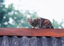 Nette gestreifte Katze, die herein auf der Spitze des Dachs geht und jagt Stockbild