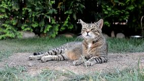 Nette gestreifte lustige Katze auf dem Garten stock video