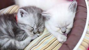 Nette getigerte Katze und weiße Kätzchen, die für das Lecken seiner Tatzen in einem Korbbett schlafen und träumen stock footage