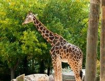 Nette Giraffe Lizenzfreie Stockfotos