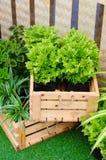 Nette Grünpflanze in der Holzkiste Stockbilder
