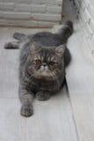 Nette graue Katze, die auf dem Boden liegt. Stockbilder