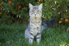 Nette graue Katze, die auf dem Gras sitzt Stockbild