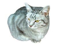 Nette graue Katze lokalisiert Lizenzfreie Stockfotografie