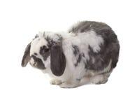 Nette graue und weiße Häschen-Kaninchen-Einfassung gelassen lizenzfreie stockfotos