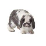 Nette graue und weiße Häschen-Kaninchen-Einfassung vorwärts stockfoto