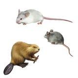 Nette graue und weiße Maus, Biberholding Lizenzfreies Stockbild