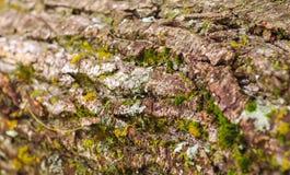 Nette hölzerne Beschaffenheit der Baumrinde mit Moos und Flechte Altes Holz Stockfotografie