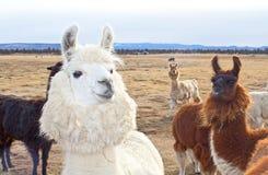 Nette Herde der Oregon-Lamas stockfoto