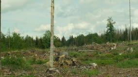 Nette het ongedierteips van de schorskever typographus, nette bossen geteisterde die droogte, door de Europese duidelijke ramp wo stock footage