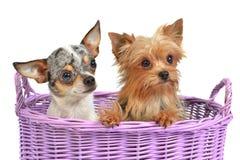Nette Hunde in einem Weidenkorb Stockfotografie