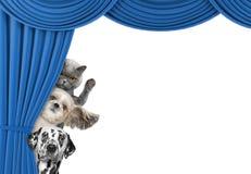 Nette Hunde und Katze, die hinter dem Vorhang sich versteckt lizenzfreies stockfoto