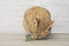 Nette Ingwerkatze, die auf getrockneter Katzenminze schn?ffelt stockbilder