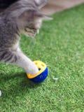 Nette junge asiatische Kätzchenkatzen des kurzen Haares grau und weiß Lizenzfreies Stockbild