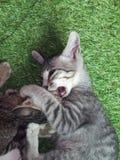 Nette junge asiatische Kätzchenkatzen des kurzen Haares grau und weiß Stockfoto