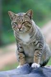 Nette junge graue Katze des Porträts mit schöner gestreifter Farbe ist in einem guten Temperament auf schwarzem Bauholz Lizenzfreies Stockfoto