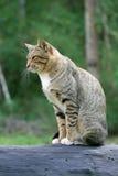 Nette junge graue Katze des Porträts mit schöner gestreifter Farbe ist in einem guten Temperament auf schwarzem Bauholz Lizenzfreie Stockbilder