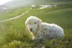 Nette junge Schafe Lizenzfreies Stockbild