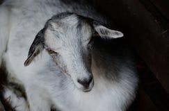 Nette junge Ziege, die in der Koppel liegt Vieh in der zurückhaltenden Fotografie Lizenzfreies Stockfoto