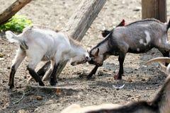 Nette junge Ziegen, die auf Farm der Tiere spielen Stockfotos