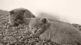 Nette Kätzchen, die auf einem weichen Teppich, Kopienraum liegen stock video footage