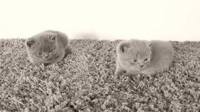 Nette Kätzchen, die auf einem weichen Teppich, Kopienraum liegen stock video