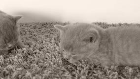 Nette Kätzchen, die auf einem weichen Teppich, Kopienraum liegen stock footage