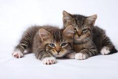 Nette Kätzchen schläfrig auf weißem Hintergrund Lizenzfreie Stockfotos