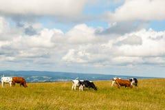 Nette Kühe auf dem Feldberg in schwarzem Wald Deutschlands. Lizenzfreie Stockfotografie