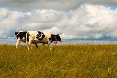 Nette Kühe auf dem Feldberg in schwarzem Wald Deutschlands. Lizenzfreies Stockbild