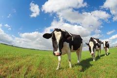 Nette Kühe auf grüner Weide über blauem Himmel Lizenzfreie Stockfotos