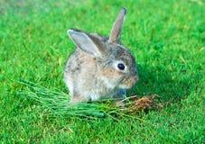 Nette Kaninchenlagerung auf grünem Gras Stockbild