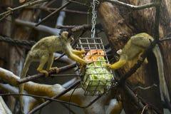 Nette Kapuzineraffen, die das Mittagessen essen lizenzfreies stockbild