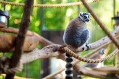 Nette Katta, die auf einer Niederlassung in einem Zoo sitzt Lizenzfreie Stockbilder