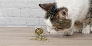 Nette Katze der getigerten Katze, die getrocknete Katzenminze schn?ffelt lizenzfreie stockfotografie